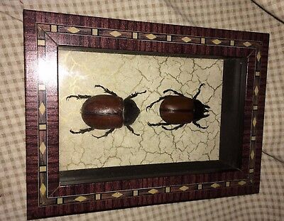 Real Framed  Coleopteran Beetles Thailand 1997 Male and Female Pair Taxidermy