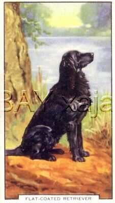 DOG Flat-Coated Retriever, Colorful Trading Card, 1930s