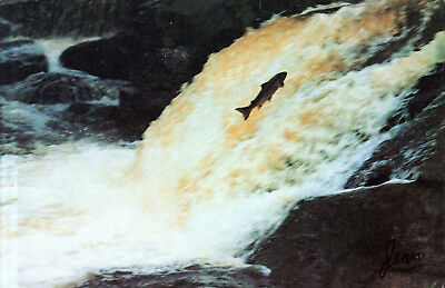 Canada - St-Felicien  -  Land lock salmon in the falls of Salmon River