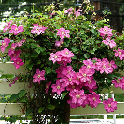Home Garden Decor Beautiful Clematis Climbing Plants Seeds Patio Outdoor Flower