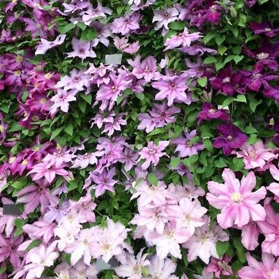 Hot 50pcs Mixed Colors Clematis Climbing Plants Seeds Flower Home Garden Decor