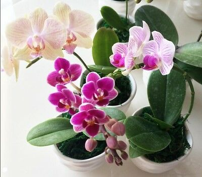 20pcs Phalaenopsis Orchids Potted Flowers Seeds Ornamental Garden Plant