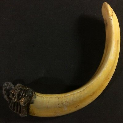 Real Solid Wild BOAR PIG Tooth Amulet Thai Pendant Powerful Lucky Teeth Talisman