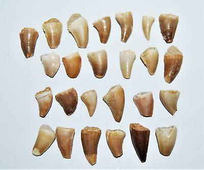 MOSASAUR Dinosaur Tooth Fossil 1/2 inch Size x-small lot of 25 w/COA #14049 4o
