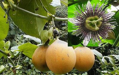 40-100+ Passiflora ligularis seed world's best tasting passion fruit very sweet!