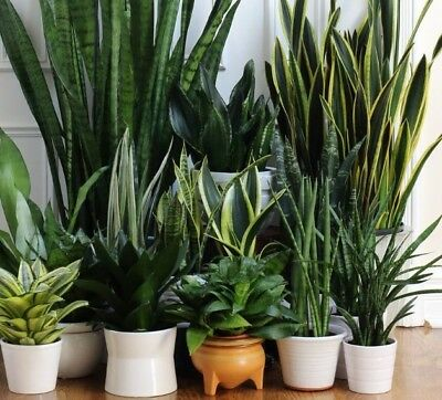 snake plant mother in law tongue sansevieria plants are 8 inches tall or more picclick. Black Bedroom Furniture Sets. Home Design Ideas