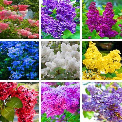 100PCs Japanese Lilac Tree Seeds 12 Colors Rare Viable Bonsai Trees Decor Home