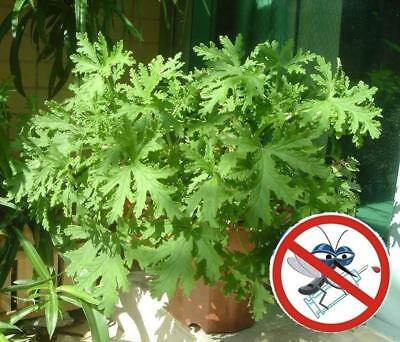 100Pcs Citronella Mozzie Buster Grass Seeds Repels Mosquitoes Rare Bonsai trees