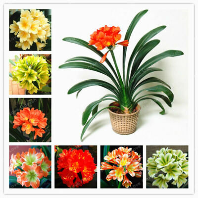 100PCs Clivia Flower Seeds 8 Colors Rare Potted Bushes Bonsai Plants Decor Home