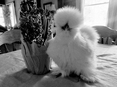 8++ SOP and Designer Silkie hatching eggs. Npip.
