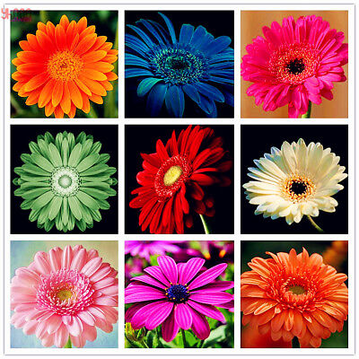 Gerbera Flower Seeds Mixed Color Rare Viable Bonsai Plants For Home Decor 100pcs