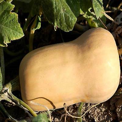Heirloom Winter Vegetable Seeds Waltham Butternut Squash Seed 1.0gr to 25gr