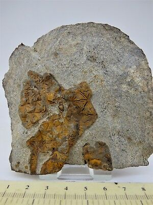 Attractive Fossil Cystoid Group ,Morocco, Ordovician with display stand