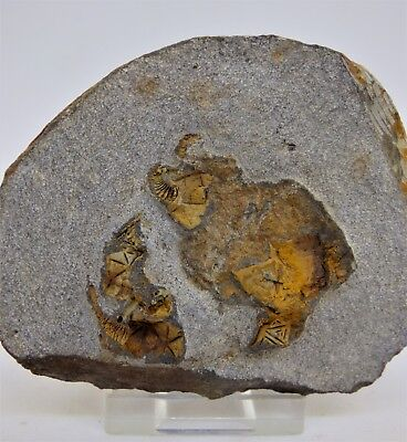 Fossil Cystoid Group ,Morocco, Ordovician with display stand