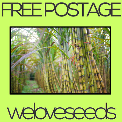 LOCAL AUSSIE STOCK - Juicy Sweet, Wild Sugarcane Plant Seeds ~5x FREE SHIPPING