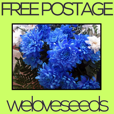 LOCAL AUSSIE STOCK - Blue Chrysanthemum, Flower Seeds ~10x FREE SHIPPING