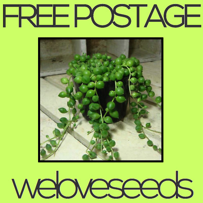 LOCAL AUSSIE STOCK - Green String Of Pearls, Rowleyanus Senecio Plant Seeds ~5x
