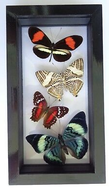 """4 Real Framed Butterflies Size 4.5""""x8.5""""inches Double Glass"""" Special Butterfly"""""""