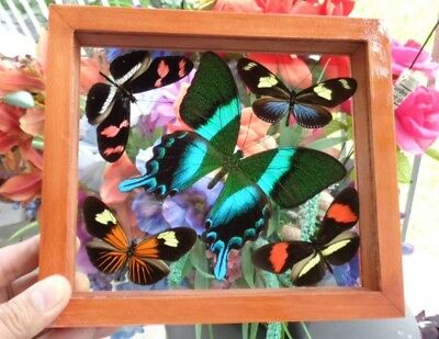 5 Real Framed Butterflies Size 6.5''x7.5Inches Double Glass Great Finish Amazing