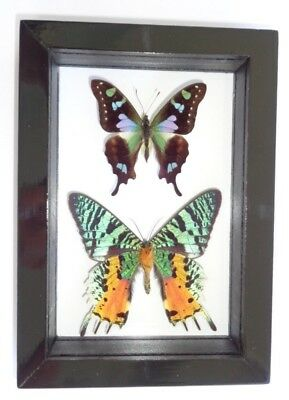 """2 Real Framed Butterflies Size 4.5""""x6.5""""inches Double Glass"""" Special Butterfly"""""""