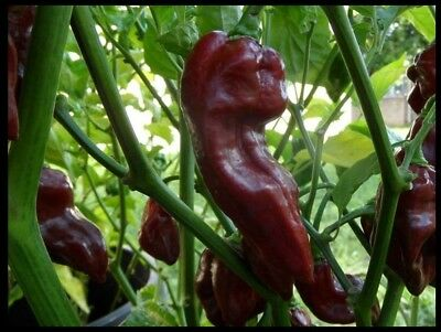 15 seeds Chocolate Devil's Tongue super RARE! Extreme Hot Pepper Great 4 Powder
