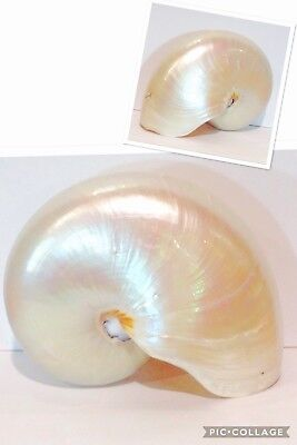 Conchiglia Nautilus Pompilius Madreperla 17,3  Cm. Mother Of Pearl Sea Shell