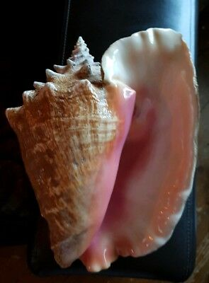 All The Way From Cuba!! An Extra Large Conch Sea Shell  Pale Pink Fish Tank