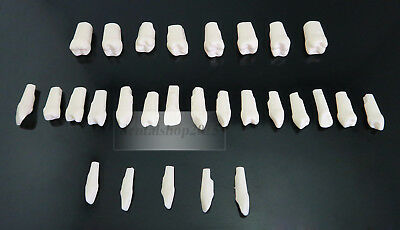 28 Pcs Assorted Teeth Typodont Replacement Practice Teeth Full mouth with screw