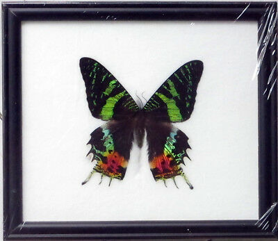 Framed Real Beautiful Madagascar Sunset Butterfly Display Insect Taxidermy