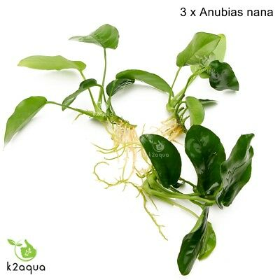 ANUBIAS NANA  x3  Live Aquarium Plants for wood Tropical Aquascaping Tank Co2 EU