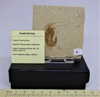 Choose your own Fossil shrimp  x 1 from group 95 MYO + Display Stand+ Gift Box
