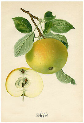 Vintage Botanical Golden Apple - Print, Poster, Gift