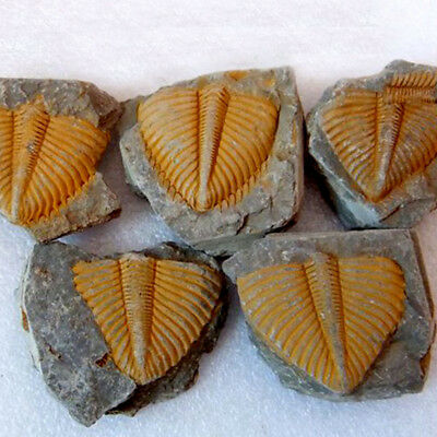 Natural Trilobite Fossils Ammonite Specimen From Madagascar 2-4CM