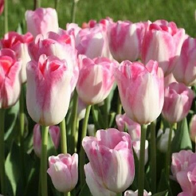 5 Pink White Tulip Bulbs Bi Color Flower Garden Hardy Perennial Bloom Flowers