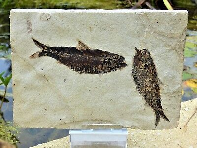 Pair Knightia Fossil Fish. 48 m.y.o. Green River formation 22 x 16 cm+  Stand