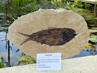 Knightia Fossil Fish. 48 m.y.o. Green River formation 21 x 13 cm + Stand