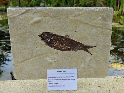 Knightia Fossil Fish. 48 m.y.o. Green River formation 20  x 15 cm + Stand