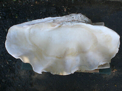 Giant Clam Shell Tridacna Gigas