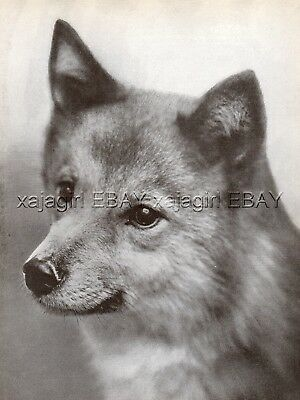 DOG Finnish Spitz Spets Champion (Named) Portrait, Vintage Print 1930s