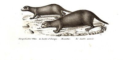 Otters European & Sea Otter, Antique 1842 Engraving Print (170+ Years Old)
