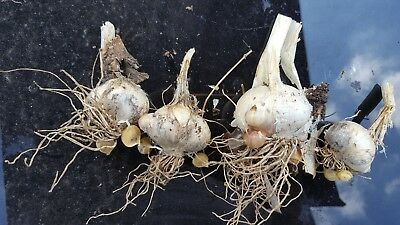 Elephant Garlic Seeds 5 for Giant  Bulbs- cloves,corms /From Giant Bulbs