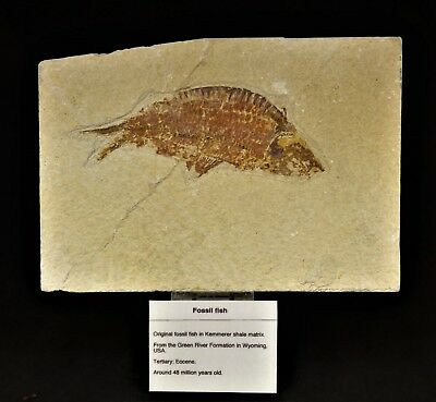 Excellent Quality Pregnant  Fossil fish  48 m.y.o. Green River  Formation