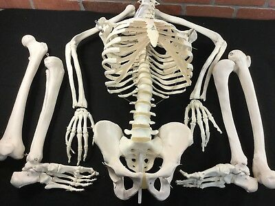 Lab Life Size Human SKeleton Torso And Limbs Articulating Joints
