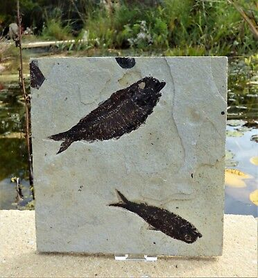 Double  Fossil Fish. Circa 48 m.y.o. Green River formation.+ display stand