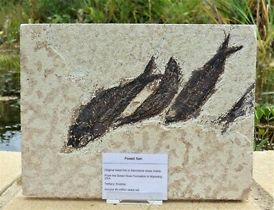 Group of  Knightia Fossil Fish.Circa 48 m.y.o. Green River formation with  Stand