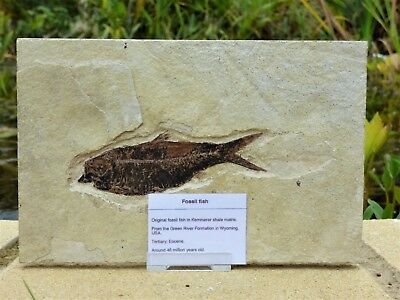 Striking  Fossil Fish. Circa 48 m.y.o. Green River formation.22.3 x 14.5 + Stand