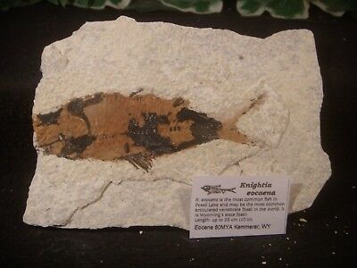 Knightia eocaena Fossil Fish Green River Formation Wyoming