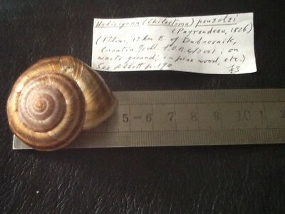 Helicigona pouzolzi shell in a plastic container. With info.