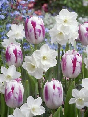 6 White Purple Tulip Daffodil Bulbs Mix Spring Flower Garden Hardy Perennial