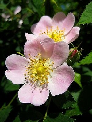 Dog rose rosa canina bare root hedging plants native hedge 5 - 200 plant packs